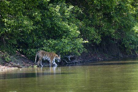 panthera tigris: Panthera tigris, Bengal tiger walking in the grass at Bardia, Nepal Stock Photo