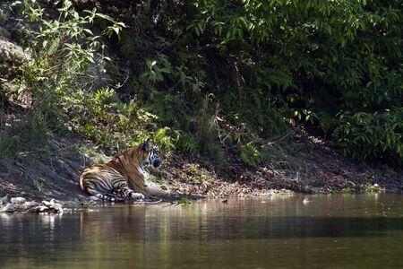 panthera tigris: Panthera tigris, Bengal tiger sleeping along the river, at Bardia national park, Nepal Stock Photo