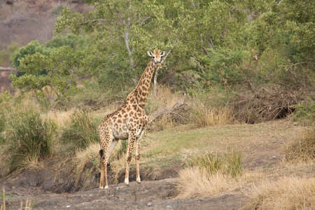 wild giraffe on a riverbank, Kruger, South Africa photo