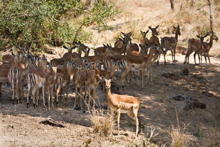 youngs: herd of wild impalas in the bush, Kruger, South Africa