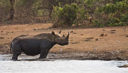 poaching: african black rhinoceros in the riverbank, Kruger, South Africa