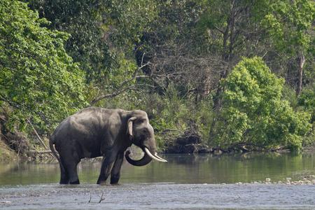Elephas maximus, Aziatische wilde olifant het oversteken van de rivier, Bardia, Nepal