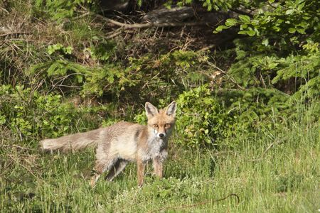 red fox: Vulpes vulpes, baby red fox in the forest, Vosges, France Stock Photo