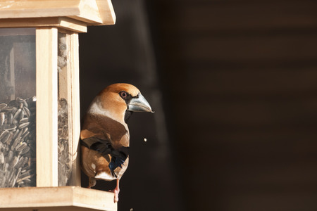 Coccothraustes coccothraustes, hawfinch perched on a bird feeder