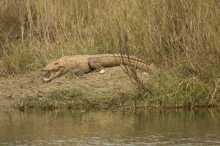mugger: mugger crocodile open mouth at Bardia national park , Nepal Stock Photo