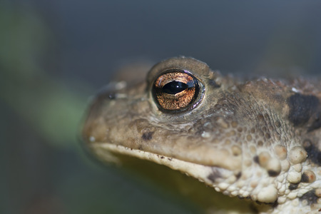 bufo bufo: Bufo bufo, portrait of a common toad, Vosges, France