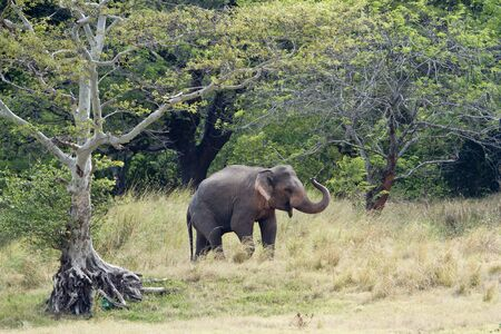 maximus Elephas maximus, wilde olifanten op Minneriya nationaal park, Sri Lanka