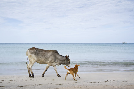 indian buffalo: domestic oxes on the beach, Uppuveli, Sri Lanka Stock Photo