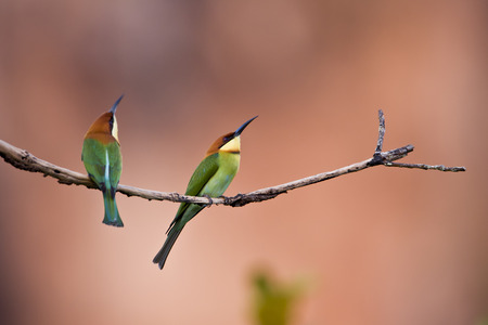 headed: Merops leschenaulti, chestnut headed bee-eater, Thailand