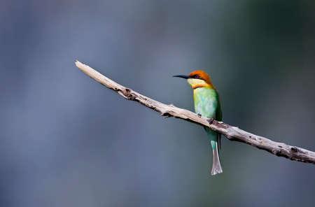 headed: Merops leschenaulti, chestnut headed bee-eater, Thailand