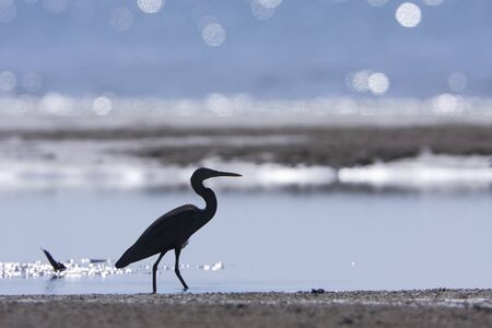 ardeidae: Egretta sacra, pacific reef egret walking on the beach, had Yao, Thailand