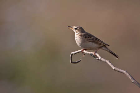 motacillidae: Anthus rufulus, paddyfield pipit on a branch, Bardia, Nepal