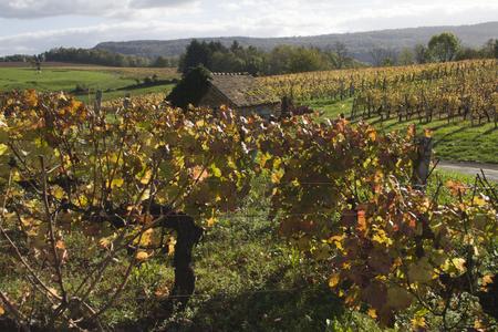 jura: vineyard in the heart of the Jura, Arbois, France