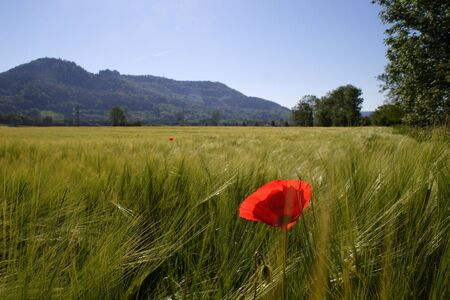 jura: poppy in a wheat field and mountains in the background Stock Photo