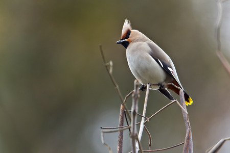 bohemian waxwing standing on a branch, Vosges, France