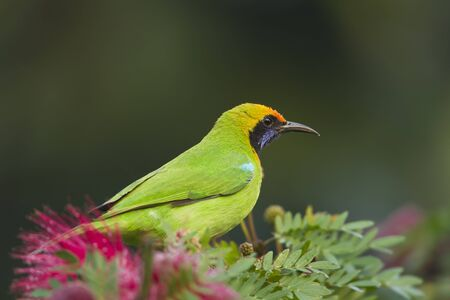 tera: golden-fronted leafbird (Chloropsis aurifrons) perched on powder puff