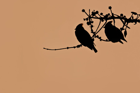 Bombycilla garrulus, couple of bohemian waxwings on backlight Reklamní fotografie