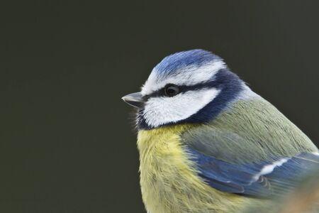 caeruleus: Parus caeruleus, portrait of a blue tit, Vosges, France