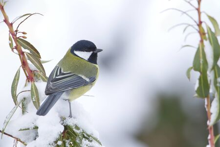 parus major: Parus major, great tit perched on a branch, Vosges, France