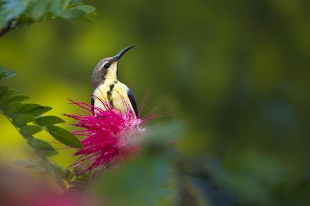 asiatica: Nectarinia asiatica