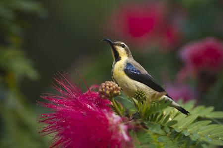 asiatica: Nectarinia asiatica, female purple sun bird, Nepal Stock Photo