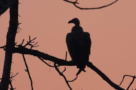 gyps: Gyps bengalensis, white rumped vulture on sunset, Lumbini, Nepal