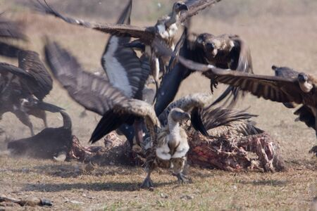 gyps: Gyps bengalensis, white rumped vulture on a carcass , Lumbini, Nepal Stock Photo