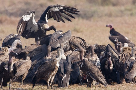 bengalensis: Gyps bengalensis, white rumped vultures on a carcass , Lumbini, Nepal Stock Photo