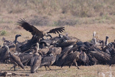 Gyps bengalensis, white rumped vultures on a carcass , Lumbini, Nepal Reklamní fotografie