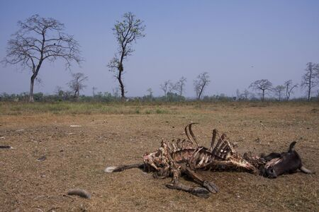 corpse: rotting cow corpse eaten by vultures, Lumbini, Nepal Stock Photo