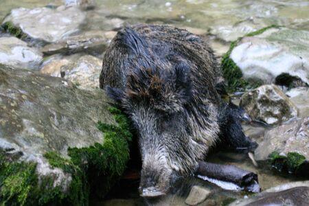 hunted: dead wild boar hunted by poachers, Jura, France