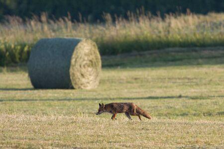 jura: Vulpes vulpes,  red fox hunting in a field, Jura, France