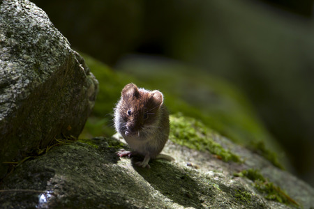 vole: Clethrionomys glareolus, bank vole on a stone, Vosges, France Stock Photo