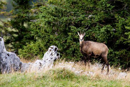 jura: Rupicapra rupicapra, wild chamois  standing , Jura, France