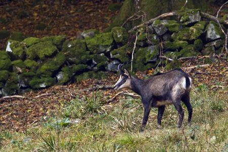 jura: Rubicapra rubicapra, wild chamois walking in the forest, Jura, France