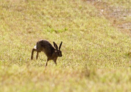 jura: wild hare running in a field, Jura, France Stock Photo