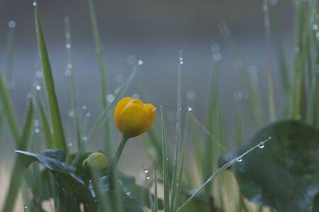 palustris: Caltha palustris, marsh-marigold or kingcup under the rain, Vosges, France