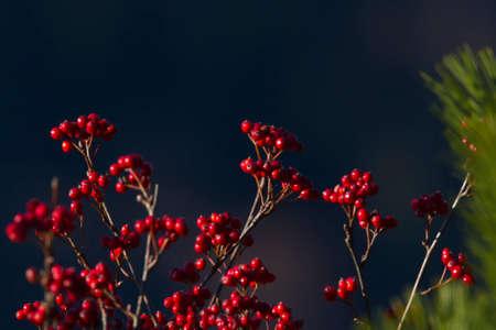 sorbus: sorbus aria in autumn season, Vosges, france Stock Photo