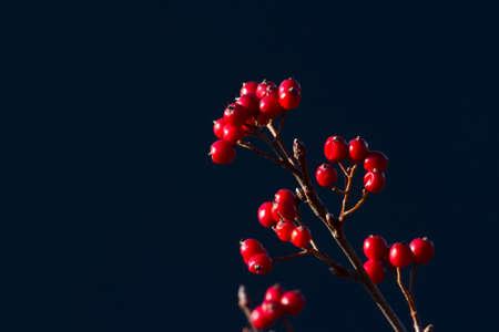 aria: sorbus aria in autumn season, Vosges, france Stock Photo