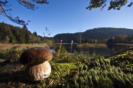 basidiomycete: Boletus edulis, porcini in the forest, Vosges, France Stock Photo
