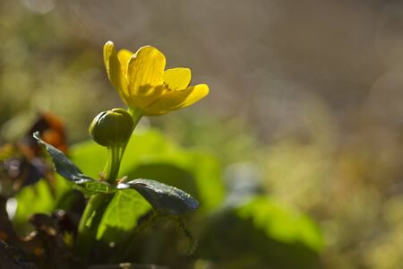 palustris: Caltha palustris, marsh-marigold or kingcup in sunrise, Vosges, France