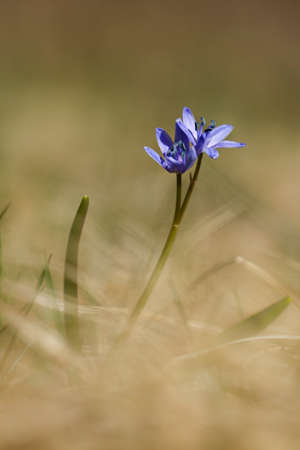 Scilla bifolia,  (alpine squill or two-leaf squill ) in a field, Vosges, France