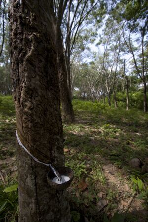 tree plantation: rubber tree plantation and collect of rubber, Thailand