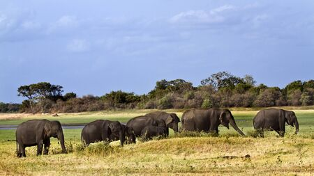 Elephas maximus maximus Stock Photo