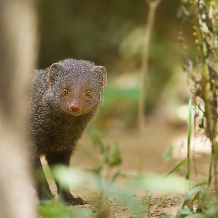 herpestidae: Herpestes edwardsii, Indian gray mongoose Stock Photo