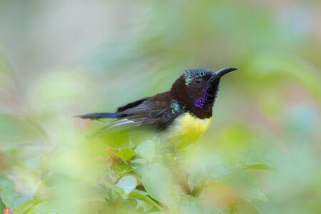 sunbird: Leptocoma zeylonica Purplerumped Sunbird