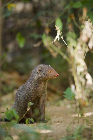 mangosta: Gray mangosta Herpestes edwardsii