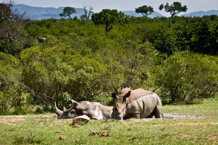 african white rhinoceros at Kruger National Park South Africa photo