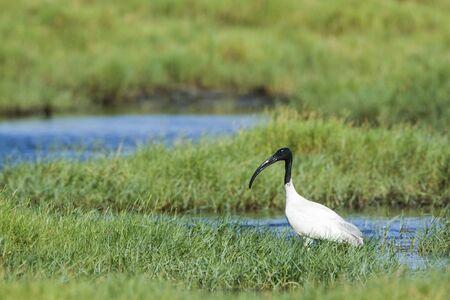 black headed: Threskiornis melanocephalus black headed ibis Sri Lanka Stock Photo