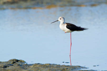 himantopus: Black winged stilt Himantopus himantopus Sri Lanka Stock Photo